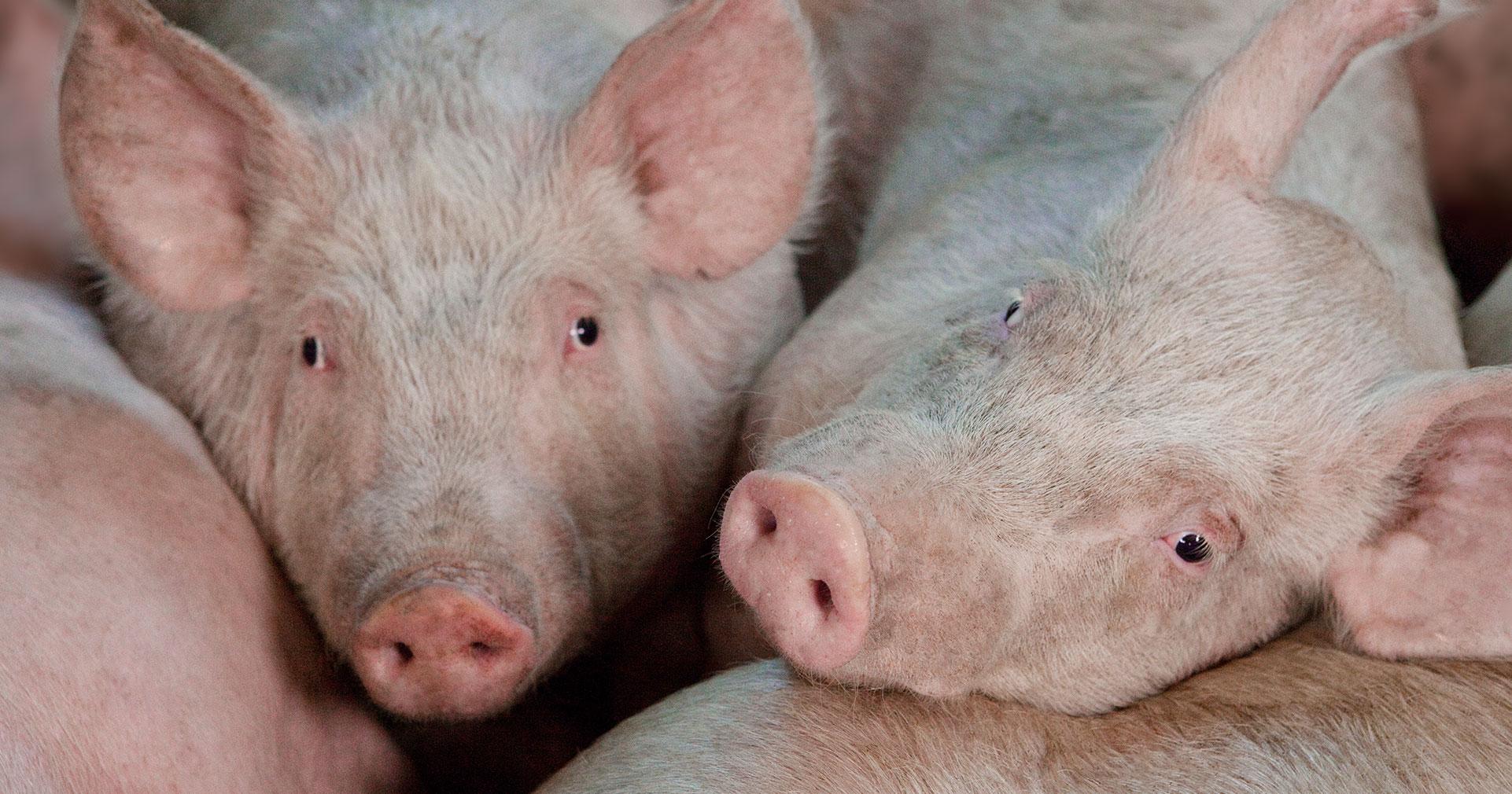 Pig Feed - Nova Feeds